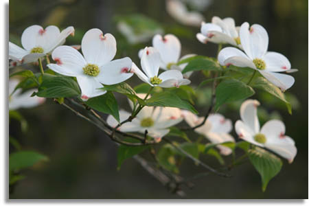 The Phenomenal Dogwood Tree Restore A Soulcare Ministry